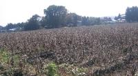 一面に大豆の田んぼが広がっています