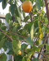 軒先に干し柿をつるした風景にあこがれて