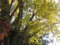 会場の岩ヶ崎小学校のシンボルツリーです