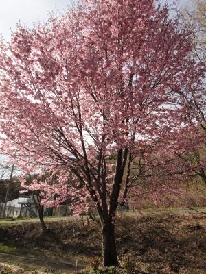 食堂前の桜