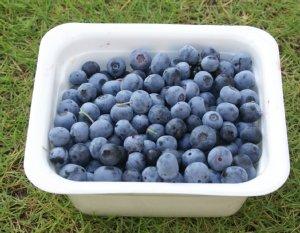 初収穫ブルーベリー