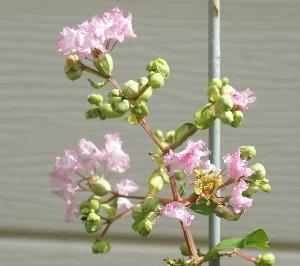 サルスベリ花1