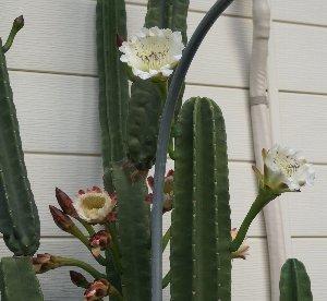 鬼面角の花
