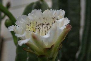 鬼面角の花1