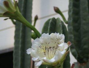 鬼面角の花3