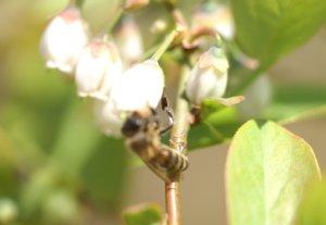 ミツバチ来訪1