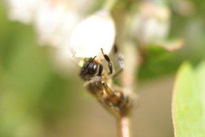 ミツバチ来訪2