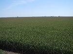アメリカ契約農家のトウモロコシ畑