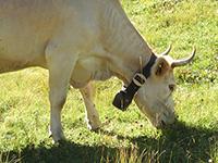 ジメンタール種の牛