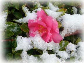 雪の日の椿1