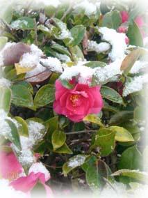 雪の日の椿2