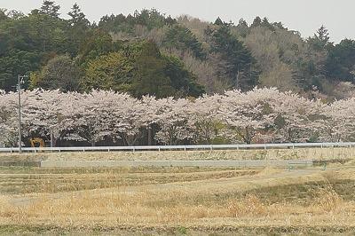 南相馬の桜