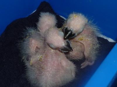孵化後10日目の雛