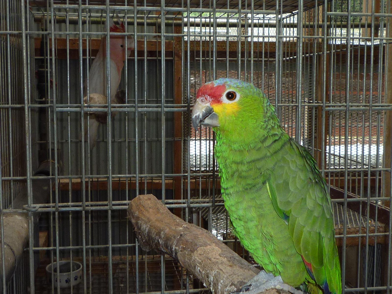 ルチノー(全身黄色)の因子を25%持っている♂のキホウ帽子インコ