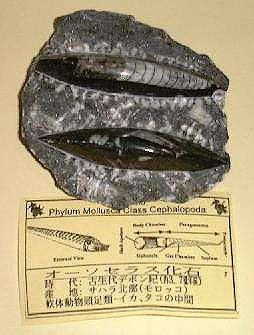 化石 オーソセラス