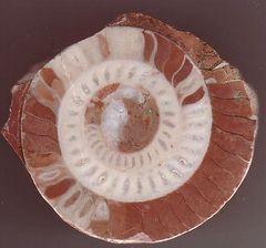 アンモナイト(アンモナイト亜綱、Ammonoidea)