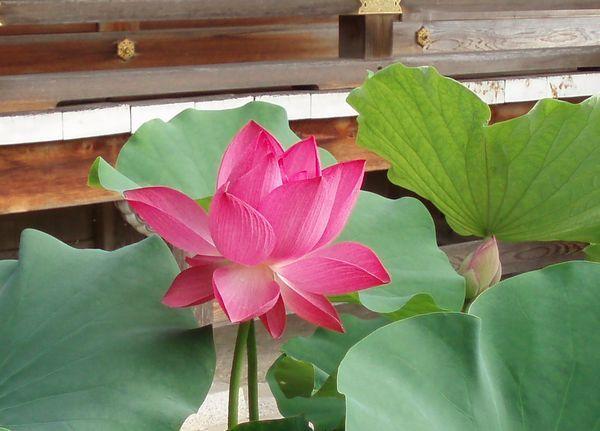 地蔵院青蓮寺の大輪の蓮の花