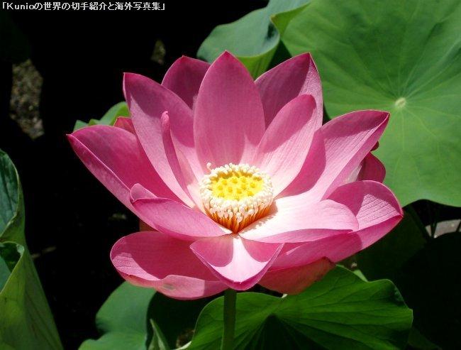 真紅の蓮の花