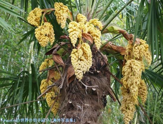 シュロ(Trachycarpus)の花