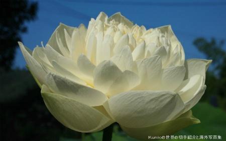 純白の蓮の花