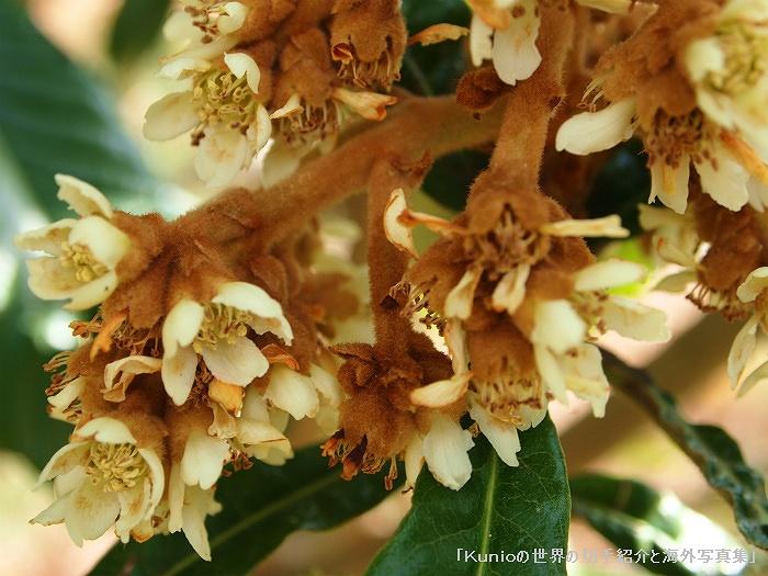 枇杷(ビワ、Japanese medlar)の花 The flower of loquat