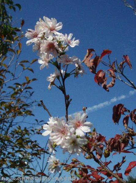 冬にも咲くジュウガツザクラ(十月桜、冬桜)