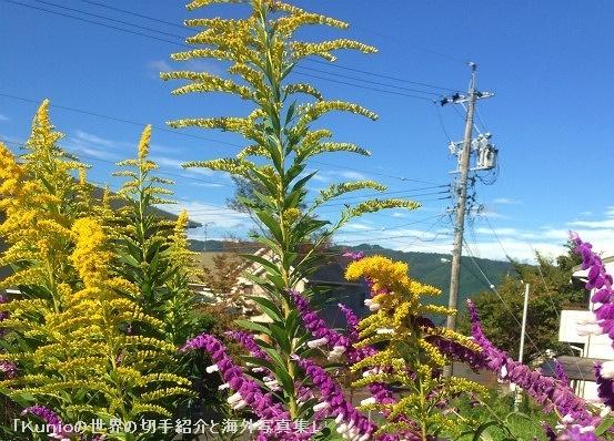 秋の景色|セイタカアワダチソウ