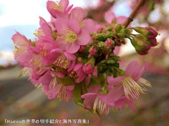 冬の桜|ヒマラヤザクラ