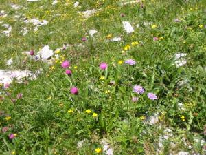 アルプスの花