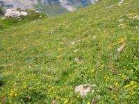 スイスアルプスの花畑2