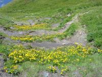 スイスアルプスの花畑3