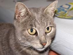cat_grey2