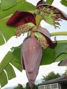 バナナの木2.jpg