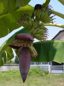 バナナの木2-1.jpg