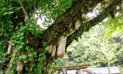 本山町の乳イチョウ