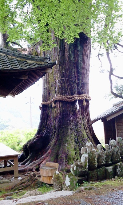 本山町の大杉01