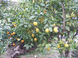庭のレモンと甘夏1712