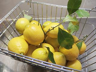 レモンの収穫1801