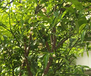 柚子1804