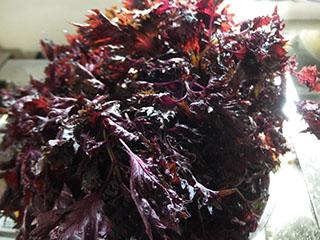 紫蘇18072