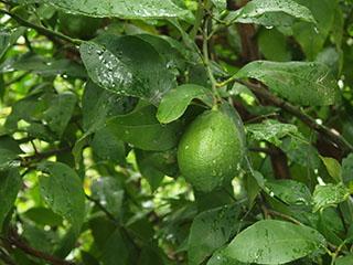 レモン1908
