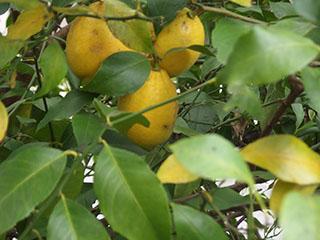 レモン191231
