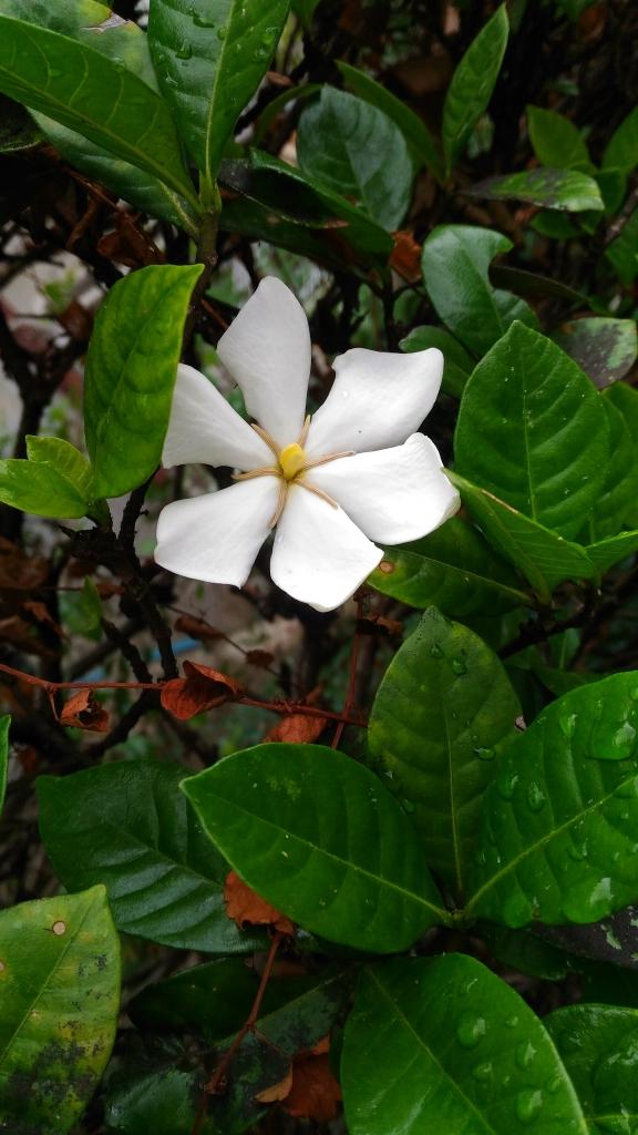 山梔子の花