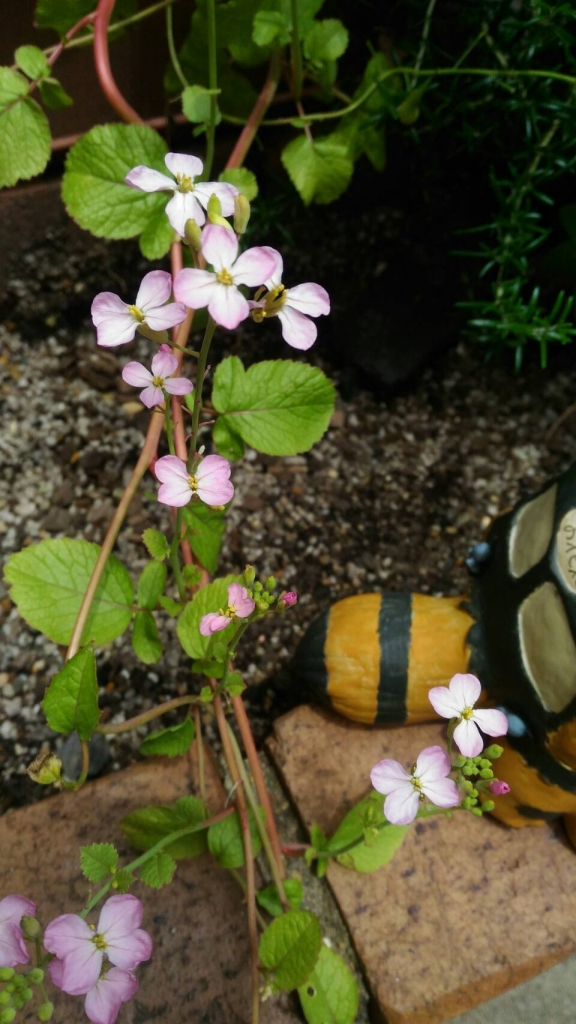 二十日大根の花