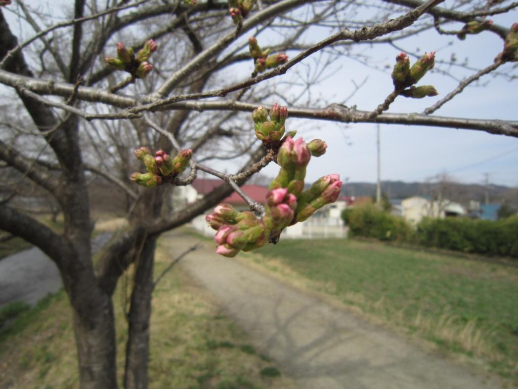 4月5日の桜1