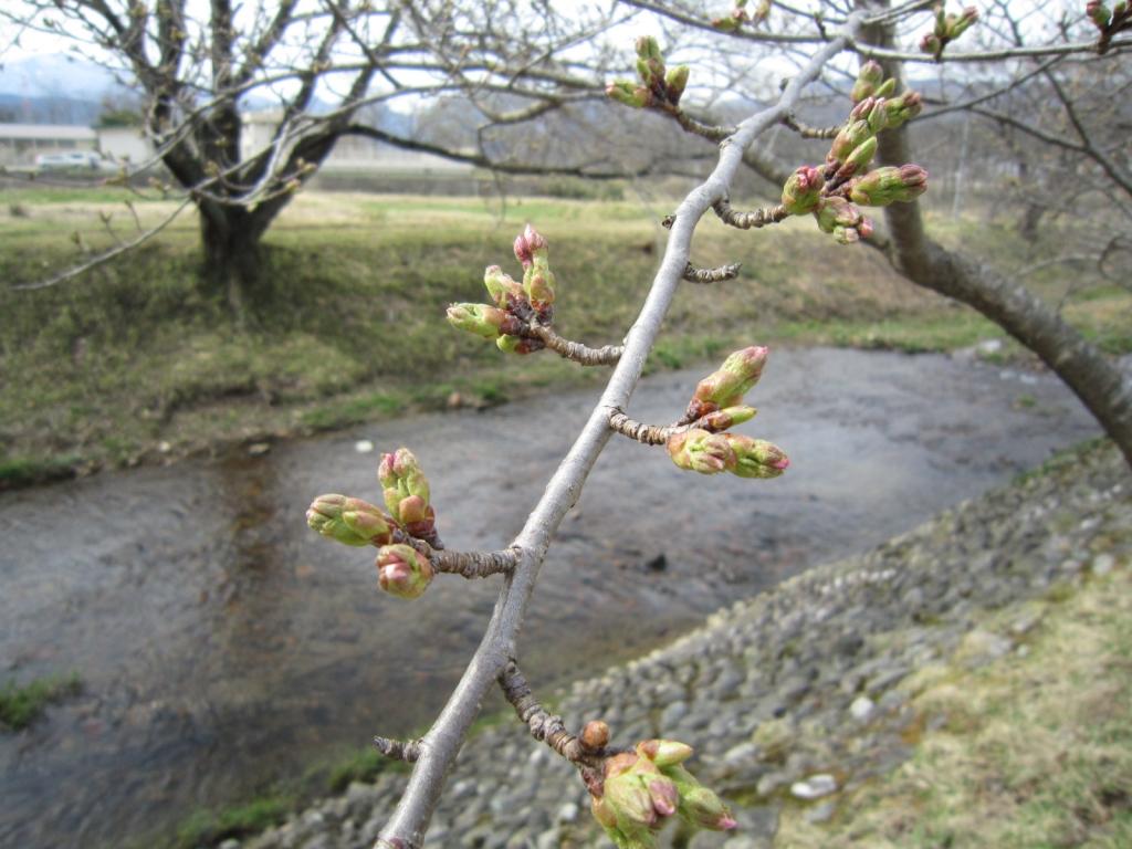 4月5日の桜2