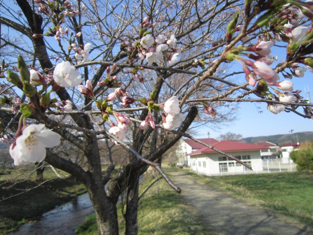 4月12日の桜1