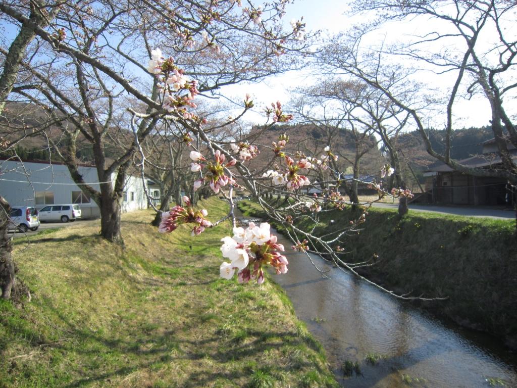 4月12日の桜2