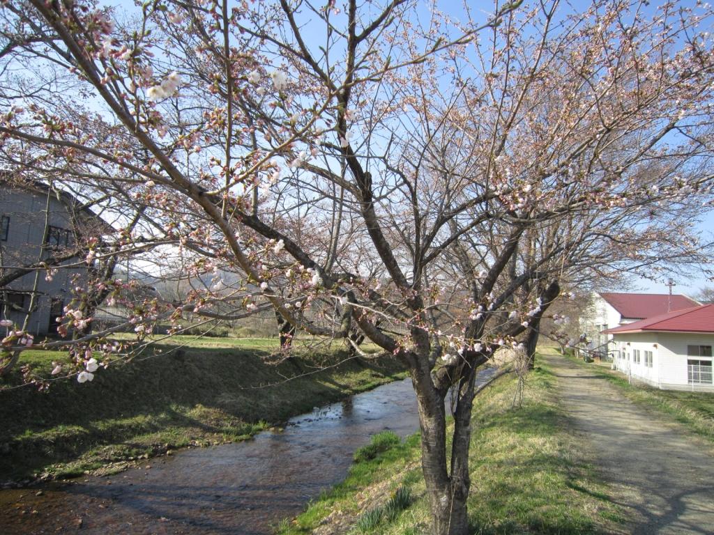 4月12日の桜3
