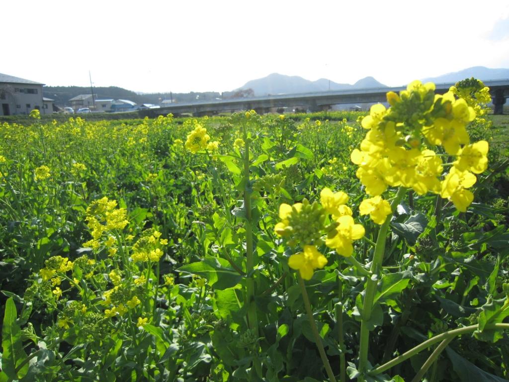 4月12日の菜の花3